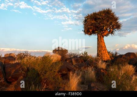 Dans le carquois Quiver Tree Tree Forest en dehors de Keetmanshoop, Namibie Banque D'Images