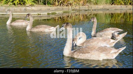 Cygnets nageant dans un lac au Royaume-Uni. Banque D'Images