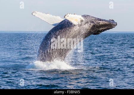 Baleine à bosse (Megaptera novaeangliae) Breaching-Cape Cod, Massachusetts Banque D'Images