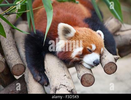 Le panda rouge (Firefox) dormir sur l'arbre Banque D'Images