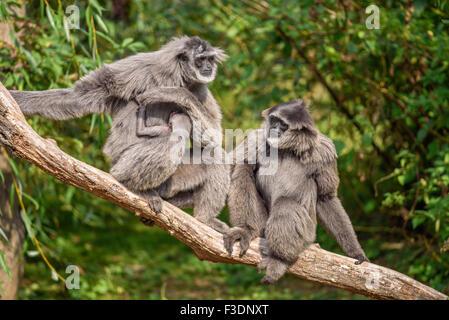 Famille de gibbons argenté (Hylobates moloch) avec un nouveau-né. Le gibbon argenté se classe parmi les espèces Banque D'Images