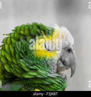 Le plumage des oiseaux verts, des plumes, de l'Ara Arlequin nature texture background Banque D'Images