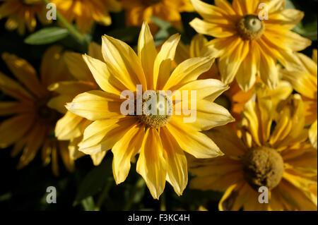 Rudbeckia hirta fleurs ou soleil des Prairies, également connu sous le nom de Gloriosa Daisy ou black-eyed Susan Banque D'Images