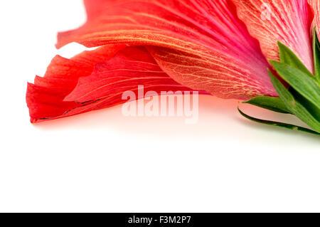 La texture de fond rose rouge magnifique fleur d'hibiscus Banque D'Images