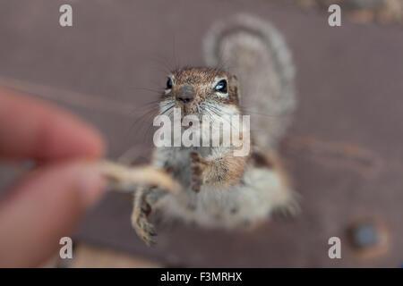 Essayez d'atteindre certains d'écureuil de la nourriture de la main d'une personne Banque D'Images