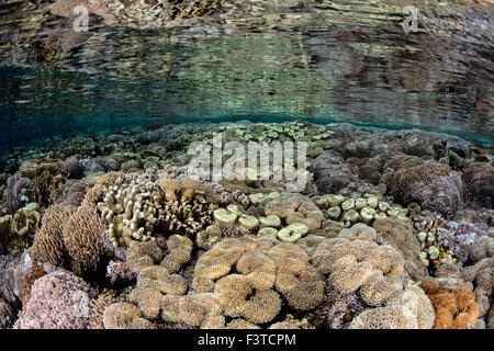Un récif diversifiée pousse dans les eaux peu profondes, dans le Parc National de Komodo, en Indonésie. Cette région Banque D'Images