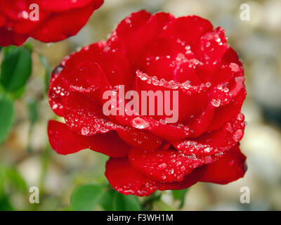 Rose rouge parfait avec des gouttes de pluie Banque D'Images