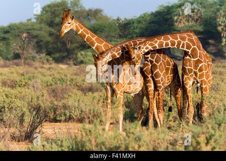 Trois girafes réticulés ou Somali (Giraffa camelopardalis reticulata), Samburu National Reserve, Kenya