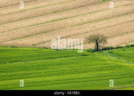 Lonely tree sur le terrain, de l'Ombrie, Italie, Europe Banque D'Images