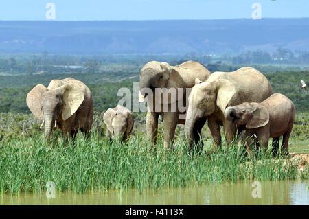 Les éléphants d'Addo Elephant National Park Banque D'Images