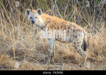 L'Hyène tachetée (Crocuta crocuta), South Luangwa National Park, États-Unis Banque D'Images