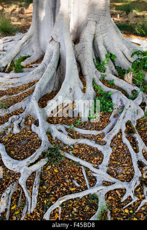 Arbre Banyan Ficus panaché; R. Australis Variegata; près de Hapuna Beach; Kohala Coast; Grande Île d'Hawai'i, Banque D'Images