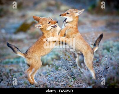 Loup éthiopien (Canis simensis) cinq mois d'Oursons jouant, Bale Mountains National Park, l'Éthiopie. Banque D'Images
