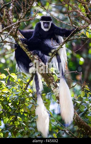 Guereza (Colobus guereza fuligineux) des singes dans la forêt Harenna. Parc National des Montagnes de balle, de Banque D'Images