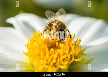 Une abeille carniolienne (Apis mellifera carnica) collecte de nectar de un dahlia (Asteraceae) blossom Banque D'Images