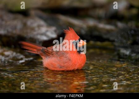 Cardinal rouge (Cardinalis cardinalis) mâle echelle, Marion, Illinois, USA. Banque D'Images