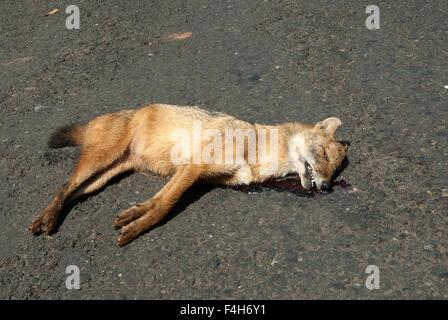 Le droit des affaires indiennes (Chacal Canis aureus indicus ) a été prise à Dapoli , Maharashtra, Inde