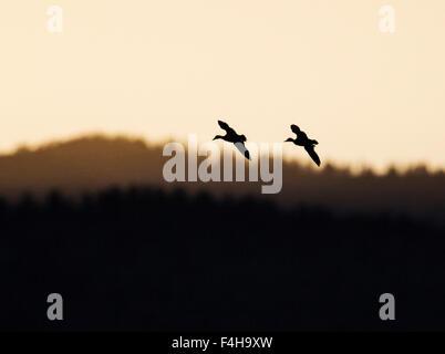 La Grue en vol au lever du soleil, Monte Vista National Wildlife Refuge, Colorado, USA Banque D'Images