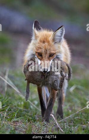 Le renard roux (Vulpes vulpes) (Vulpes fulva) réalisation d'Uinta du proie, le Parc National de Yellowstone, Wyoming, Banque D'Images