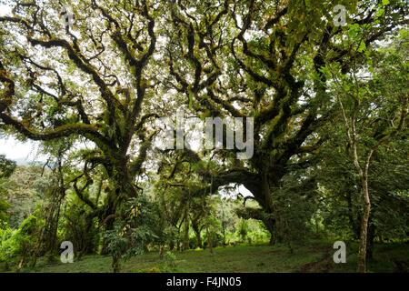 Mousses sur les arbres dans la forêt Harenna, Bale Mountains National Park, Ethiopie Banque D'Images