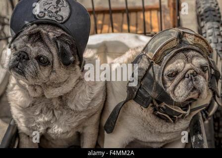 Portrait de deux chiens pug vêtue d'un capuchon, casque et lunettes. Cette race est ou alias pug chinois, néerlandais, Banque D'Images