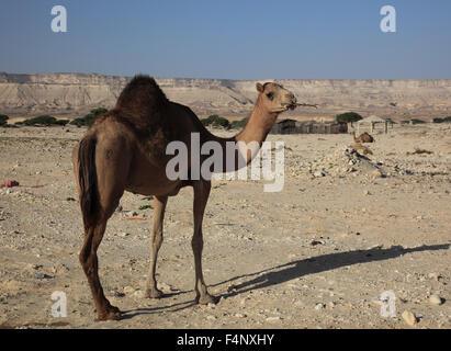 Chameau dans le désert, Oman Banque D'Images