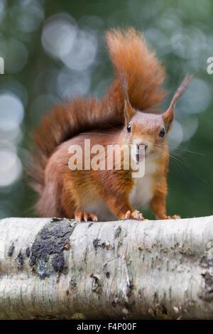 L'écureuil roux Sciurus vulgaris, à la tête sur et surpris, British Wildlife Centre, Surrey, UK en juin. Banque D'Images