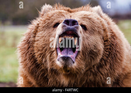 Ours brun, Ursus arctos, ours, animal, USA, chef Banque D'Images