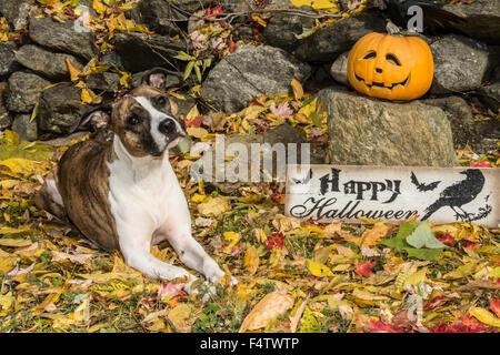 Chien avec Halloween Jack O lanterne Banque D'Images