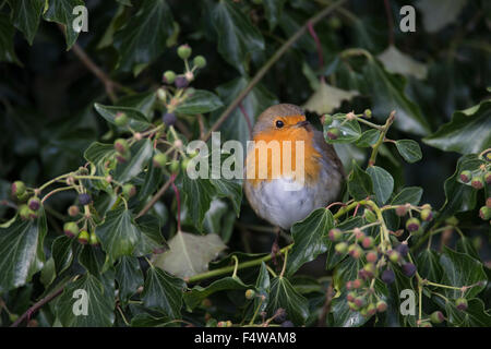 Robin, robin, Rotkehlchen, Erithacus rubecula aux abords, le rouge-gorge familier Banque D'Images