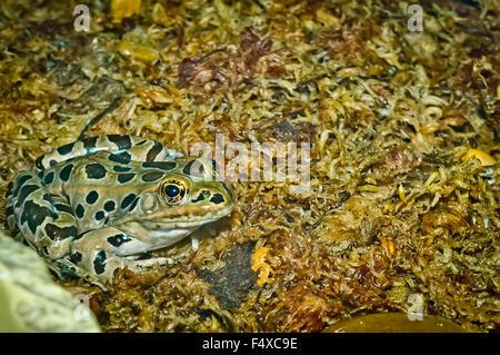 Un gros plan de la grenouille léopard tacheté sur un lit de mousse humide. Banque D'Images