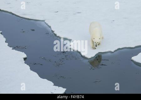 Le Groenland, Scoresby Sound, l'ours polaire promenades à bord de mer de glace, reflet de garder à l'eau.