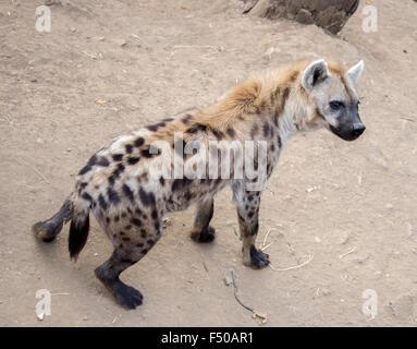 L'Hyène tachetée (Crocuta crocuta) Banque D'Images
