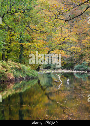 La rivière Dart dans Hembury Woods, Dartmoor, Devon, UK Banque D'Images