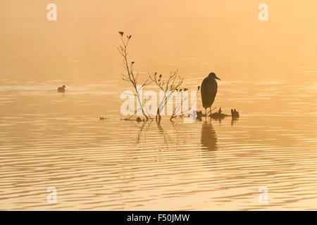 Héron cendré (Ardea cinerea) sur un perchoir au milieu d'un lac avec une foulque macroule (Fulica atra) natation Banque D'Images