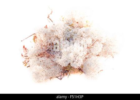 Une pile de lichen, isolé sur fond blanc Banque D'Images