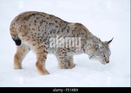 Un Lynx Boréal (Lynx lynx) sur la piste de l'alimentation dans la neige de l'hiver du nord de la Norvège Banque D'Images