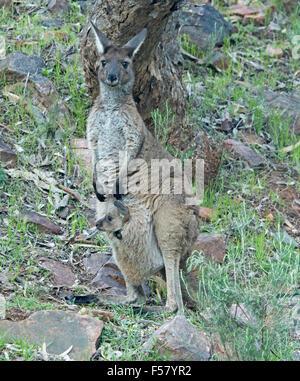 L'ouest femelle kangourou gris, Macropus fulginosus avec Joey sur le site du sachet et regarder dans l'arrière-pays Banque D'Images