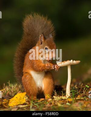 Écureuil rouge avec une noisette dans sa bouche debout près d'un champignon vénéneux donnant l'impression d'une Banque D'Images