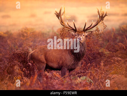Red Deer Stag dans la brume matinale Banque D'Images