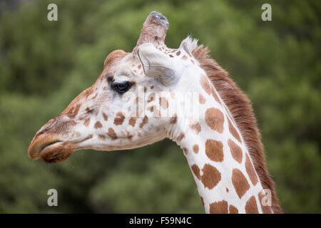 Tête de girafe réticulée