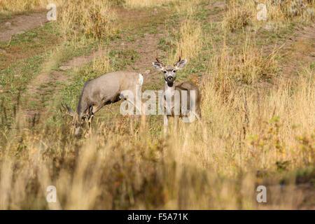 Le cerf mulet, Odocoileus hemionus, Yellowstone National Park, Wyoming, USA