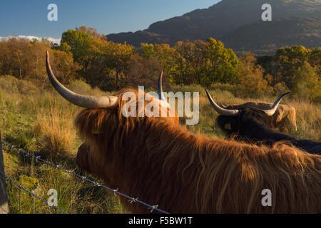 Loch Katrine, Ecosse, UK - 1 novembre 2015: Royaume-Uni: la météo de l'Highland cattle manteaux correspondent Banque D'Images