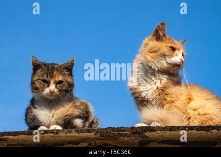 Deux chats de maison, un rouge et blanc, d'autres couleur tabby theo, assis sur un toit. Bleu ciel automne fond. Banque D'Images