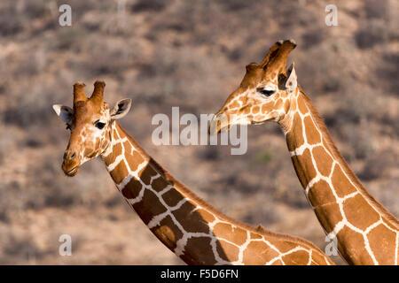Les Girafes réticulée ou Somali girafes (Giraffa camelopardalis reticulata), Portrait, la réserve nationale de Samburu, Banque D'Images