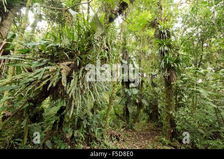 Epiphyte laden cloudforest à 2 200 m d'altitude sur le versant amazonien de la Cordillère des Andes en Equateur Banque D'Images