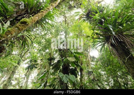 À la recherche jusqu'à la canopée de cloudforest humide à 2 200 m d'altitude sur le versant amazonien de la Cordillère des Andes en Équateur. Banque D'Images