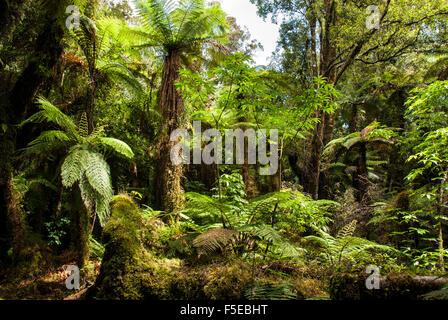 Fougères arborescentes dans Glow Worm Dell (Miniehaha), Fox Glacier village, Westland, île du Sud, Nouvelle-Zélande, Banque D'Images