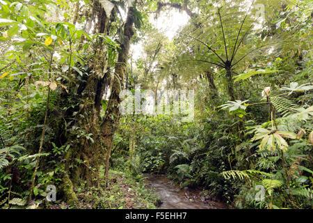 Cloudforest humide à 2 200 m d'altitude sur le versant amazonien de la Cordillère des Andes en Equateur, fougère arborescente et ruisseau. Banque D'Images