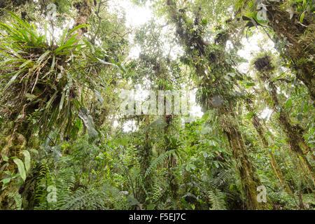 Dans les arbres chargés d'épiphytes cloudforest humide à 2 200 m d'altitude sur le versant amazonien de la Cordillère des Andes en Equateur Banque D'Images